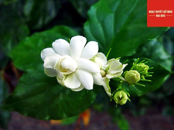 Hoa nhài có thể dùng để chữa nhiều bệnh