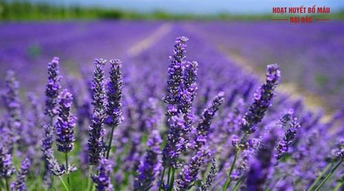 Cây oải hương lavender