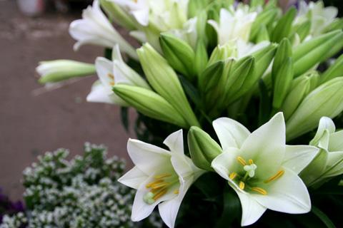 Bài thuốc từ hoa loa kèn