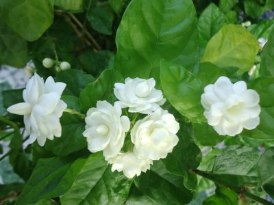 Hoa nhài chữa bệnh mất ngủ