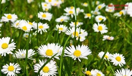 Hình ảnh hoa cúc la mã chamomile