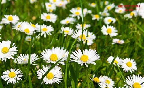Trà hoa cúc la mã
