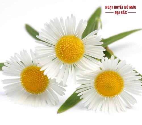 Ý nghĩa hoa cúc la mã