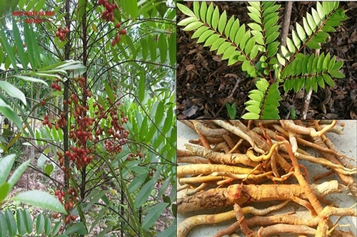 Các loại cây thuốc quý trong rừng