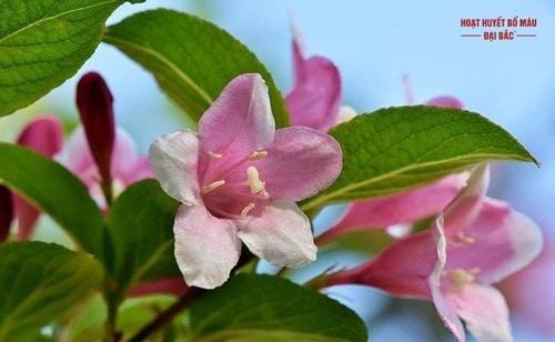Cây hoa chi nhài