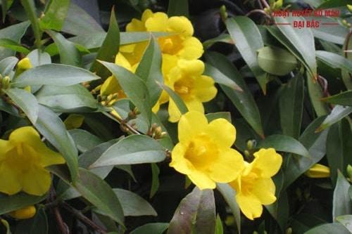 Cây hoa lài vàng