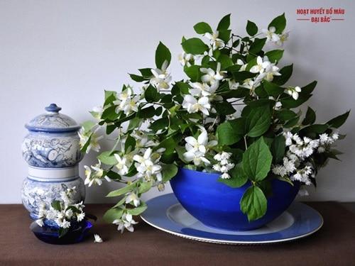Cây hoa nhài có trồng được trong nhà không