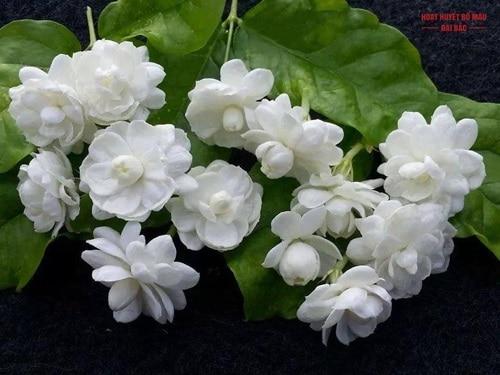 Cây hoa nhài trắng