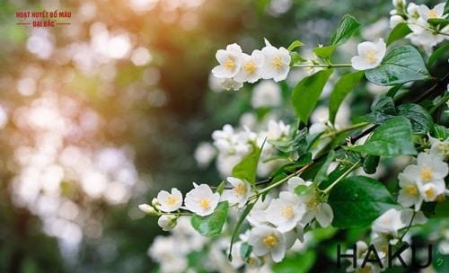 Hoa nhài là hoa gì