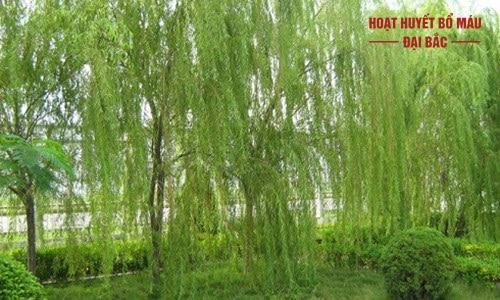 Chiết xuất cây liễu trắng